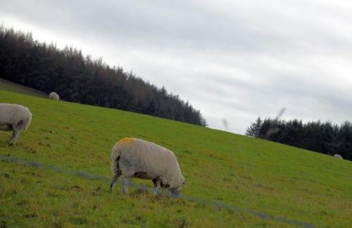 Sheep0