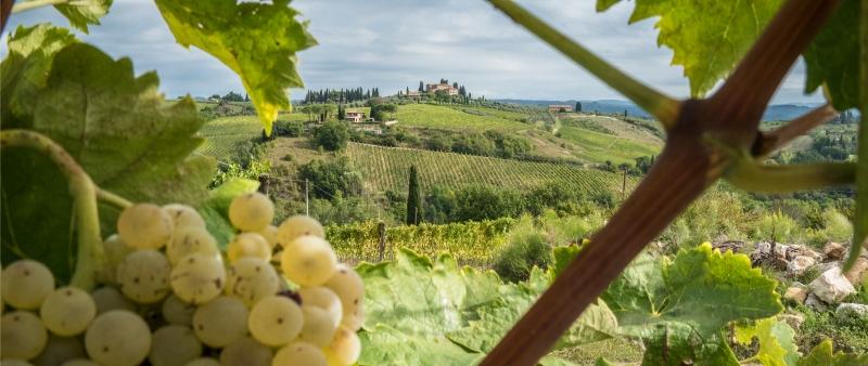Grape vines San Gimignano